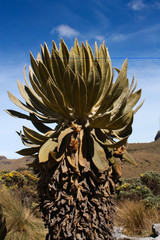 Frailejones. National Natural Park Nnow. Andean Colombia. Caldas