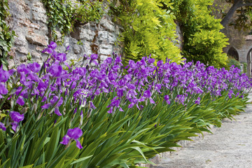 Irises, blooming along sandy road