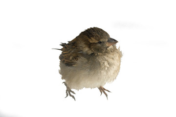 disheveled urban sparrow