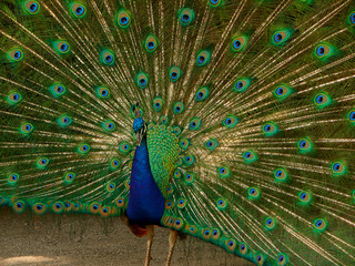 peacock shows his tail