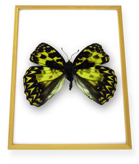 Butterfly in picture frame