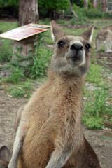 Känguru Tasmanien