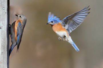 Fotoväggar - Pair Of Bluebirds