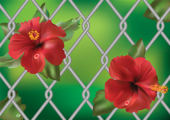 Hibiscus rose against the fence.
