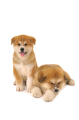 Two  Akita Inu puppy dogs on white background