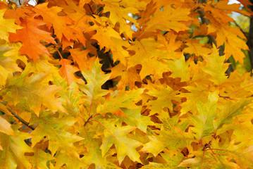 Eichenlaub - Oak leaf cluster 03