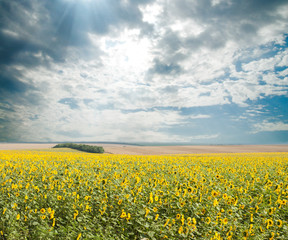 sunflowers with sun in the field