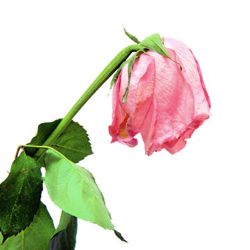 Withered pink rose on white