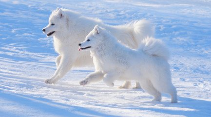 Wall Mural - Two Samoyed dogs
