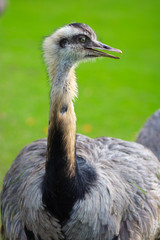 Ostrich showing head and neck