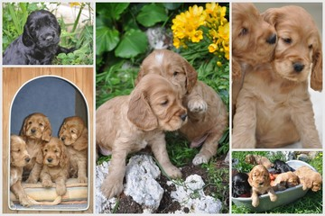chiots cocker anglais spaniel multi photos