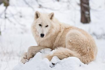 Ruhender Polarwolf