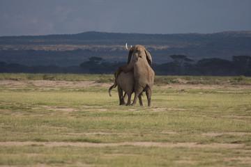 Elefanti in amore