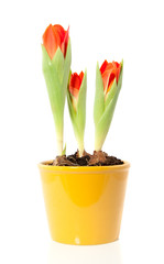 Orange tulips in a yellow pot isolated over white