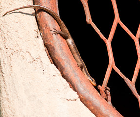 Lizard resting on round window with iron grill