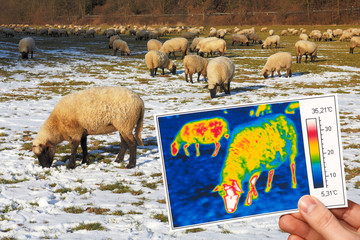 thermography of grasing sheep in winter