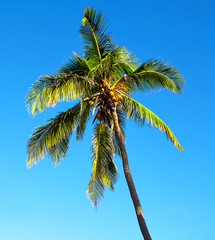 Isolated palm tree over a blue sky