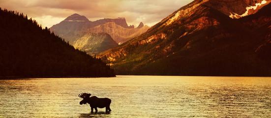 Elch in einem Bergsee bei Sonnenuntergang