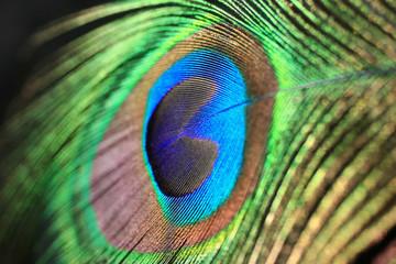 Plume de paon - Peacock feather