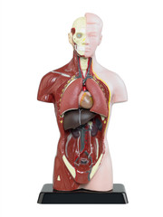 Der menschliche Körper 1