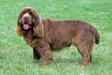 Sussex Spaniel de profil dans l'herbe