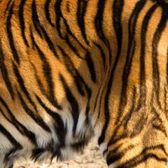 Tigre du Bengale