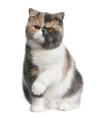 Fototapete - Front view of Exotic shorthair cat, 8 months old, sitting