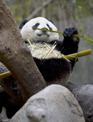 chinese panda bear in tree eating bamboo, male juvenile, china