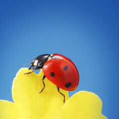 ladybird on yellow petal