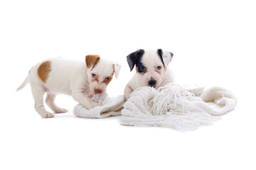 two jack  russel terrier puppies on a white blanket