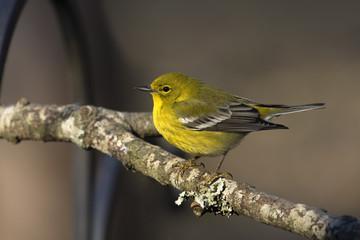 Bright yellow warbler sitting on a tree limb