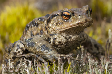 European Toad close-up