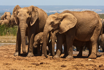 Elephant family in the Addo National Park, South Africa