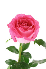 Big and beautiful pink rose on a white background