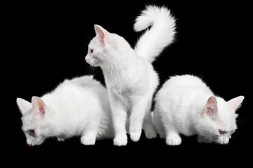 Beautiful white cats look every which way
