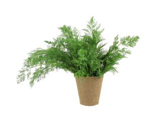 Organic dill herb in peat pot
