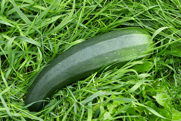 Zucchini on the green grass background