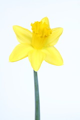 Daffodil on white background