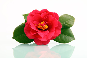 A red flower - camellia with reflection