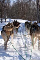 chiens de traineau huskies