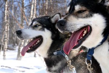 chiens huskies