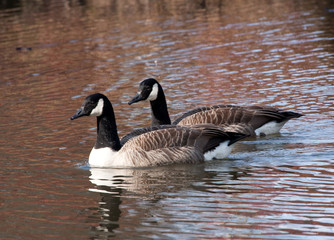 Pair of Canada geese in spring