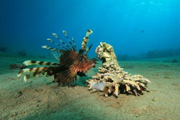 Lionfish following hunting Grey Moray Eel