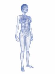 transparente weibliche Anatomie