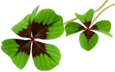 trèfle à quatre feuilles, fond blanc