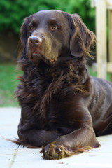 Portrait brauner Labrador wachsam