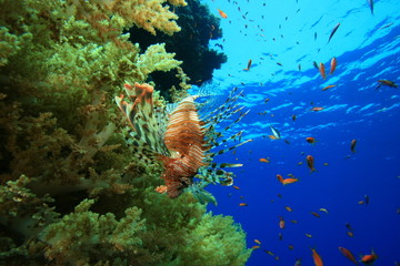 Soft coral and Lionfish