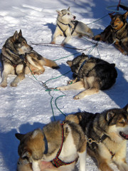 meute chiens huskies