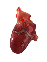 Real human heart right view isolated