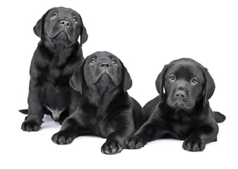Three black labrador puppies, two  months old.
